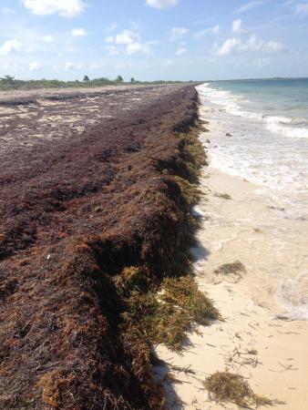 seaweed wall on beach next to hotel