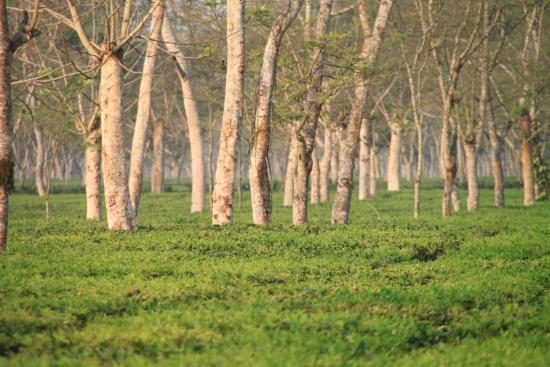 Mancotta Chang Bungalow: Tea Plantation