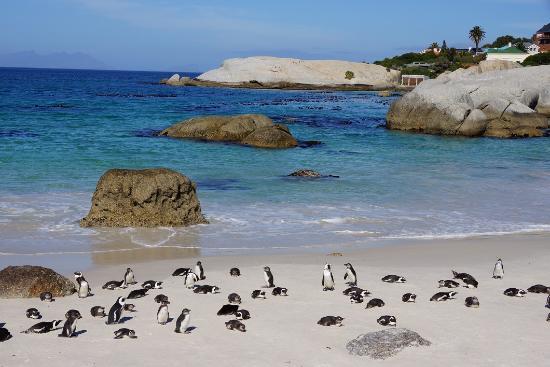 Simon's Town, Sudáfrica: 世界で唯一、近くに接近してアフリカペンギンを観察する事が出来ます。