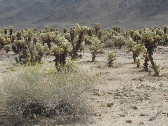 Cholla sign picture of cholla cactus garden joshua tree - Cholla cactus garden joshua tree ...