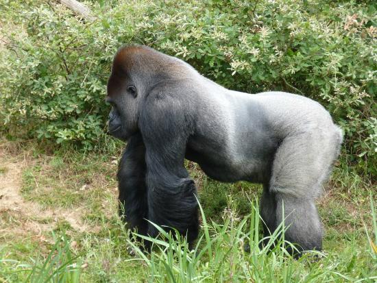 Sehr Gorille dos argenté - Photo de La Vallee des Singes, Romagne  SN96