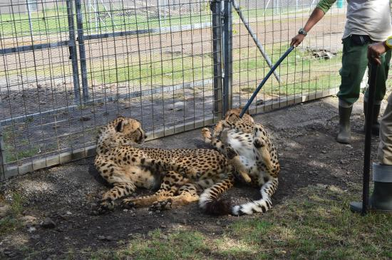 Cascavelle: Cheetah acting like a big pussy cat