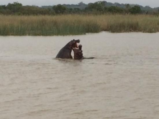 Igwalagwala Guest House: Hippos