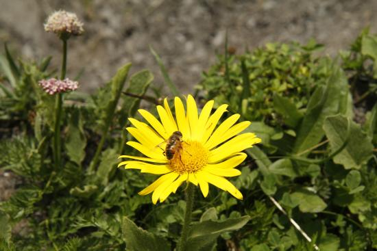 Grindelwald, Suiza: Yellow flower