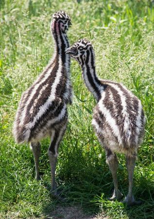 Cougar Mountain Zoo : Baby Emus