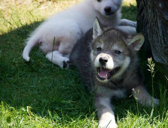 Cougar Mountain Zoo : Baby Wolves