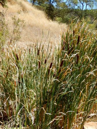 Ukiah, Kaliforniya: creekside cattails