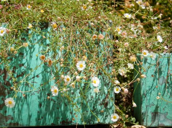Ukiah, CA: planter with cheerful flowers