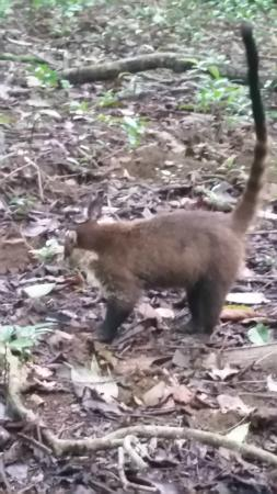 Puerto Jimenez, Costa Rica: Coatimundi looking for food