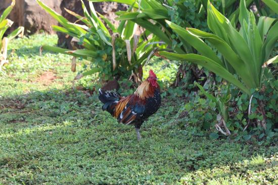 Kauai Mopeds: Saw the rooster on the way