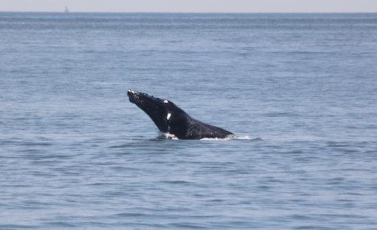 Cape May Whale Watch & Research Center: Breaching whale