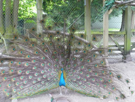 Peacock At The Petting Zoo Picture Of Queen S Park New Westminster Tripadvisor