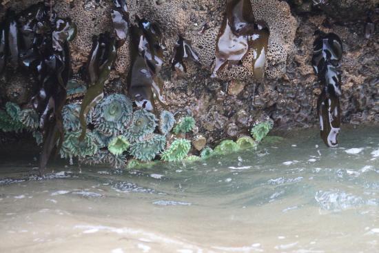 Pescadero State Beach : Sea Anemones