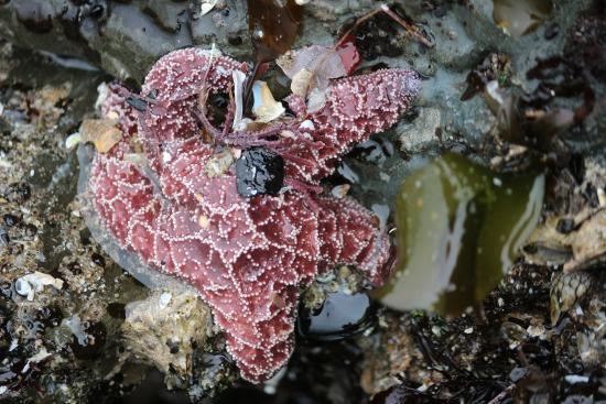 Pescadero State Beach : Starfish