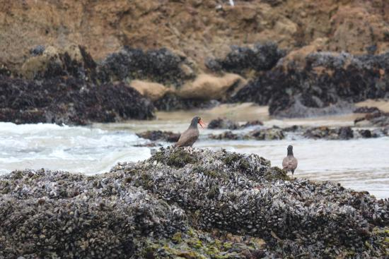 Pescadero State Beach : Oystercatchers