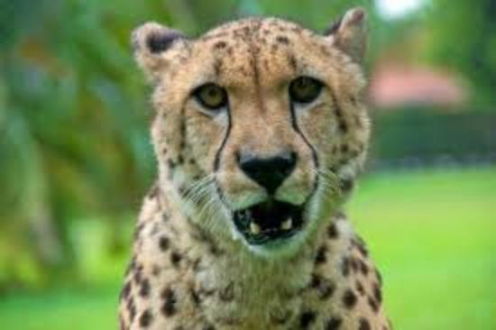 Cheetah - Picture of Panther Ridge Conservation Center, Wellington -  Tripadvisor