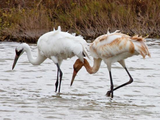 Rockport, TX: Whooping Cranes