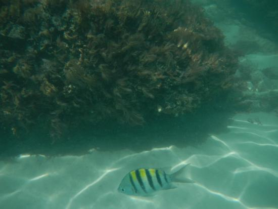 Hamilton, Bermudas: Lots of these fish in area