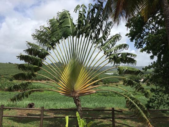Le palmier du voyageur les chais le jardin botanique for Le jardin voyageur
