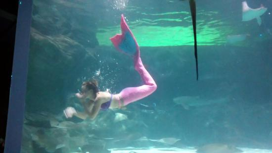 Ripley S Aquarium Mermaid Show