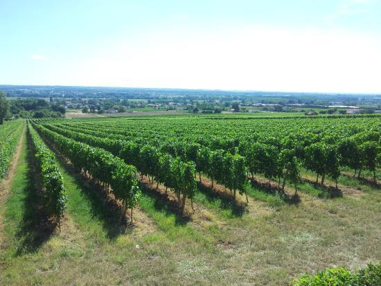 Saint-Maixant, France : Vignes et forêt des Landes qu'aimait contempler FM