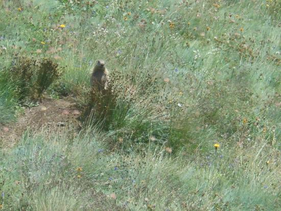 Rifugio Des Alpes : La marmotta nel prato sottostante