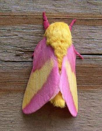 Pocomoke River State Park: Rosy Maple Moth