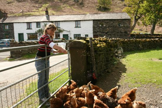 Mosedale End Farm Bed and Breakfast & Glamping Pod: Hen Feeding at Mosedale End Farm B+B