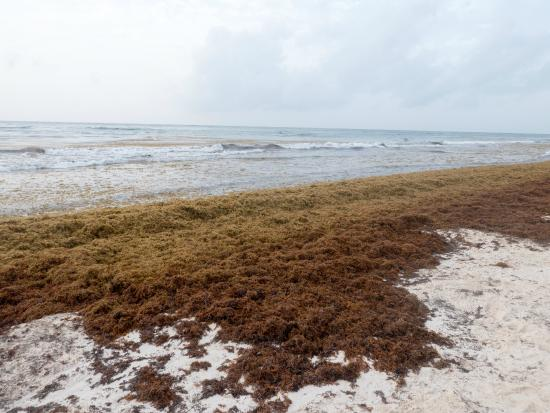 Sargassum Seaweed right near the beach here - Picture of La