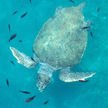 Hotel Elpis Bali : The turtle in the bay! Amazing!