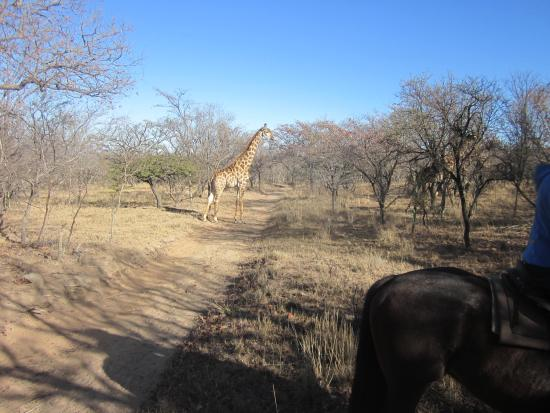 Ant's Hill & Ant's Nest: Giraffe, one of many seen with young too