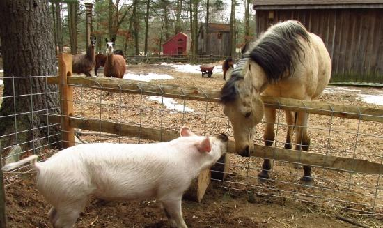 Norton, MA: Spirit and Willow-Mia Pig...with llama's and mini's in the background.