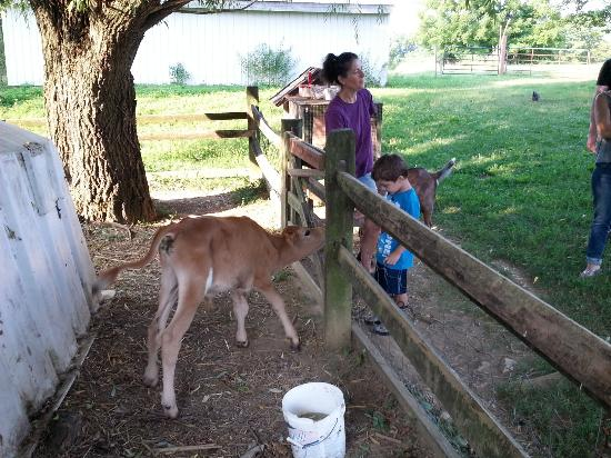 Olde Fogie Farm: Feeding the calf