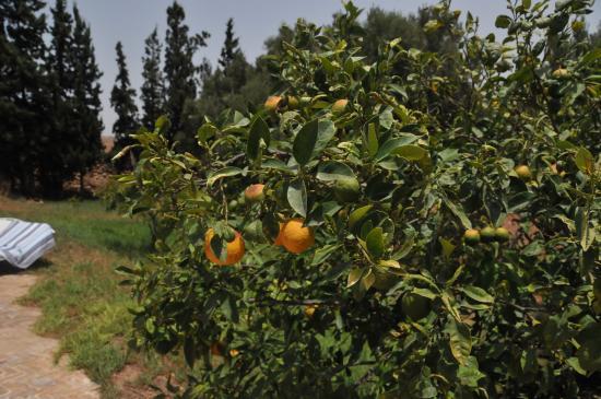 Riad Douar Des Oliviers : Prachtige tuin met sinaasappelboom, de heerlijkste sinaasappelmarmelade ever!