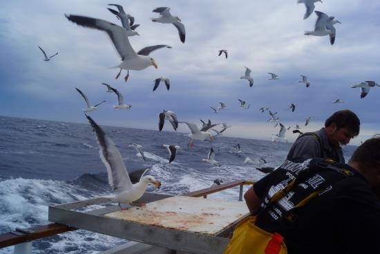 Daredevil sea gulls out for some tasty treats at the for Channel islands fishing