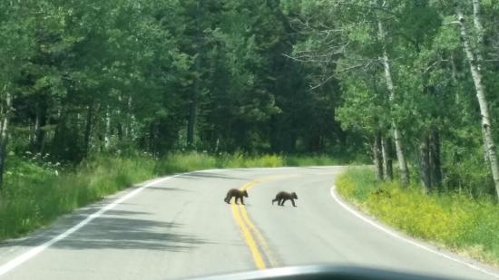 Two Medicine Campground: Black bear cubs on the road to the campground.