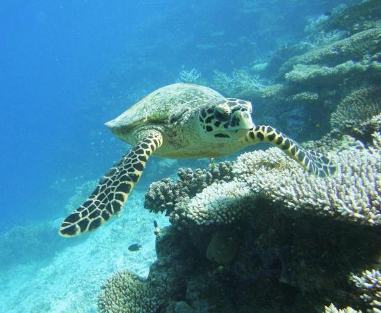 Alifu Atoll: Черепаха