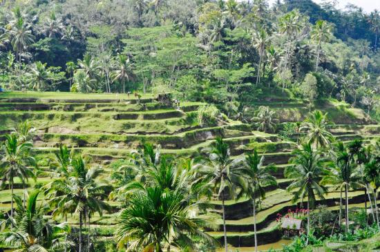 Teras picture of tegalalang rice terrace ubud tripadvisor for Tegalalang rice terrace ubud