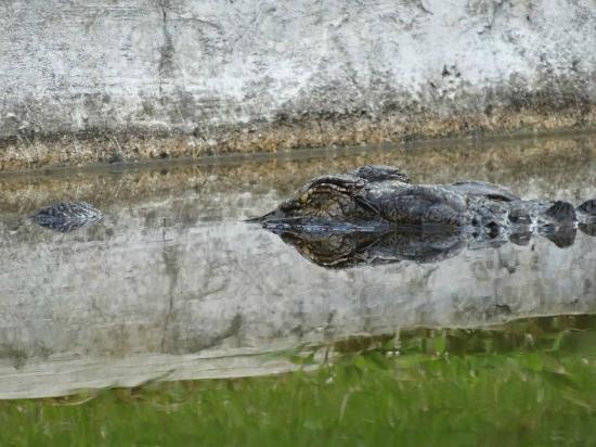 Reptile Park : Aligator