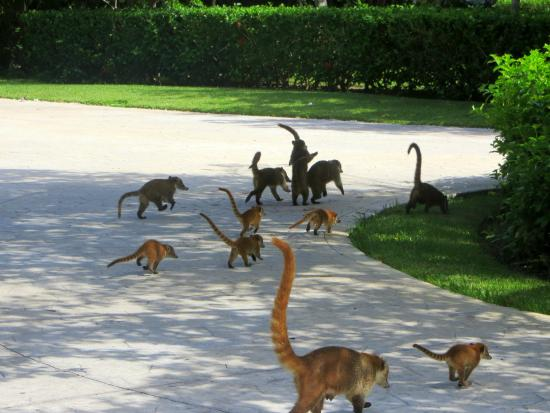 Playa del Secreto, Messico: Encounter with coatis on our way to breakfast.
