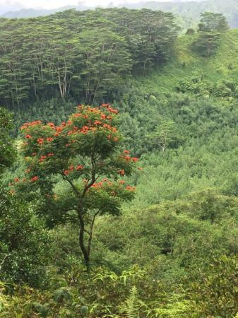 Great views including this african tulip tree picture of kuilau kuilau ridge trail great views including this african tulip tree publicscrutiny Images