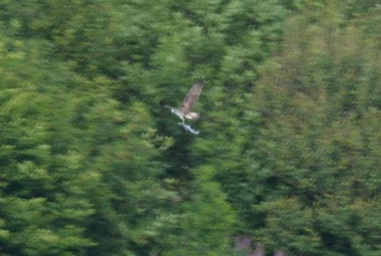 Forbes of Kingennie Country Resort: Osprey fishing