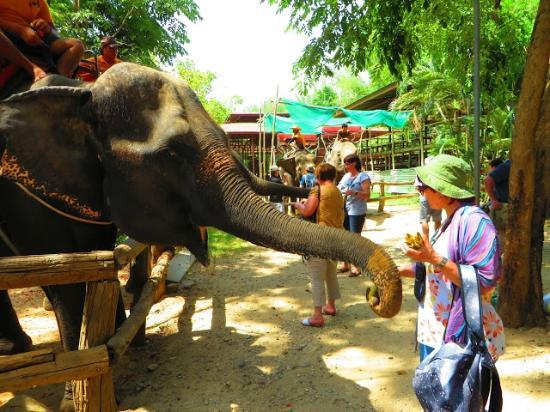 Somnuk Elephant Camp : Feeding elephants with bananas