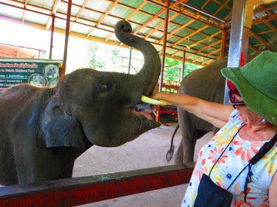 Somnuk Elephant Camp : Feeding elephant baby with soya milk