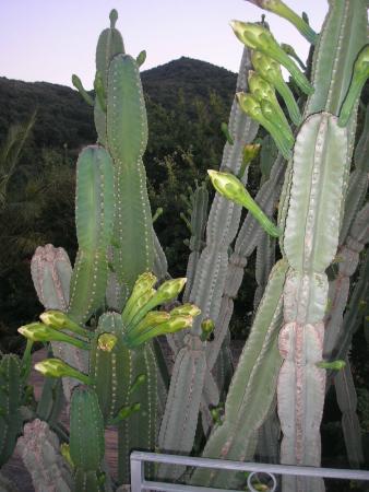Hotel Villa Ireos: Il cactus centenario