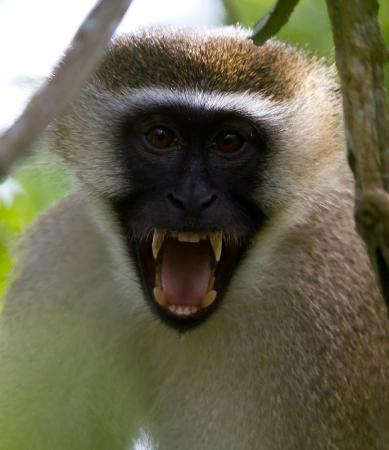 Lazy Lagoon: Green vervet monkey