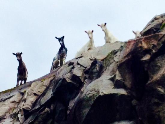 Jolster Municipality, Νορβηγία: Goats :-)