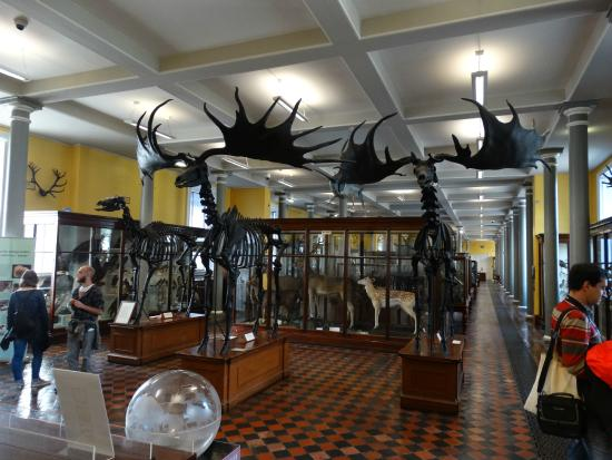 Irish Elk Skeletons Picture Of National Museum Of