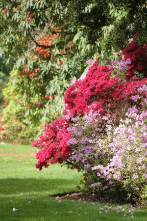 Grampound, UK: Magniques rhododendrons en Mai