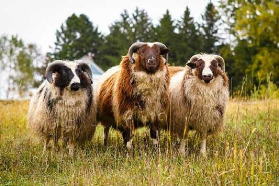 Black Cat Farmstead: Young Icelandic X Shetland rams in fall